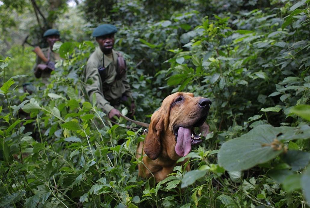 Virunga Nemzeti Park, Kongó: vadőrök gyakorlatoznak Dodival, a kétéves vérebbel.  - a hét képei