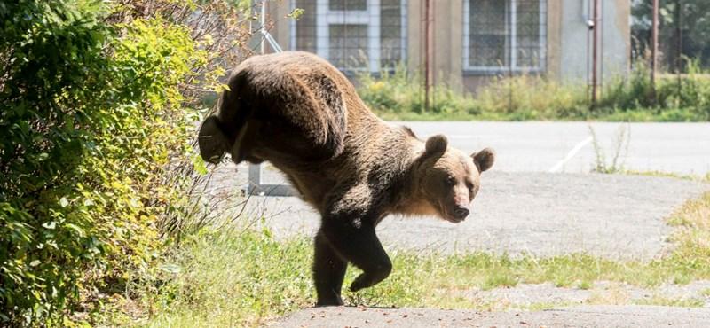 Csíkszeredában is kilőttek egy medvét – az egész akciót vették a kamerák