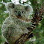Védelmet kaptak Ausztráliában a koalák