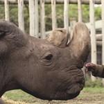 Siker: újabb petesejteket tudtak levenni a kihalás szélén álló szélesszájú orrszarvúaktól