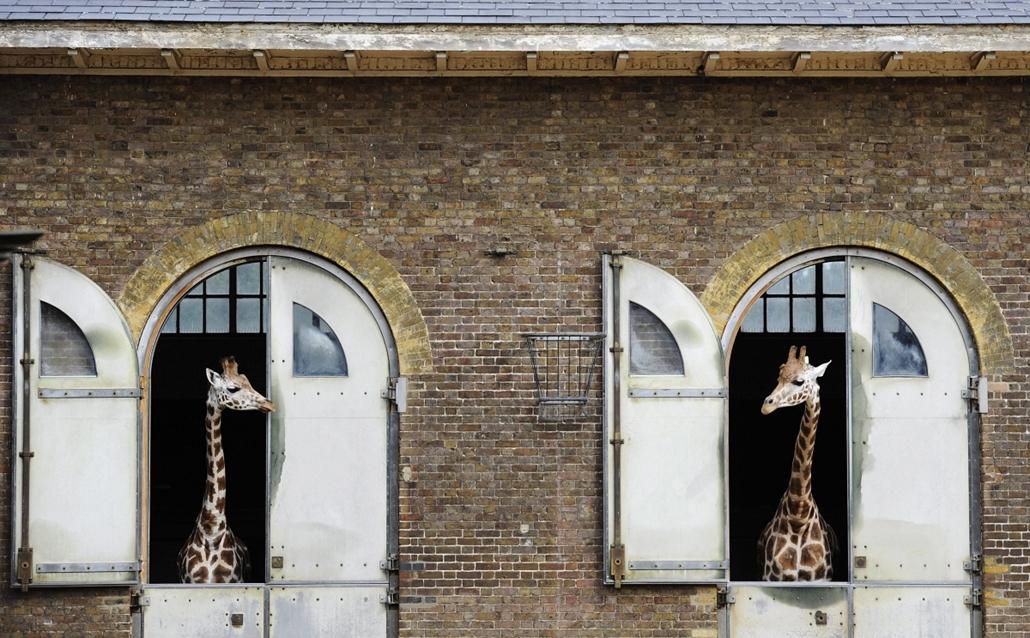 Két zsiráf várja, hogy kiengedjék őket karámjukból a Londoni Állatkertben, ahol az állatok évenkénti mérését végzik 2012. augusztus 22-én. Több mint hatszáz faj népesíti be a parkot, amelynek ilyenkor mind a 16 ezer lakóját lemérik és jegyzékbe veszik. (M
