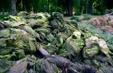 A tóból kikerült haltetemek és vízi növények hevertek a városligeti Királydombnál