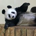 Mérhető-e Pippa Middleton szépsége egy pandáéhoz? És fordítva?