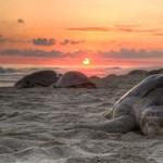 Méretes olajfolt fenyegeti a galápagosi teknősöket