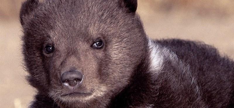 A nap videója: medvebocs a zöldségespulton