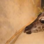 Videó: Szeret üldögélni a pesti állatkert újévi kiszsiráfja