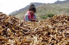 Jemenben megfelelő megoldást találtak a sáskajárásra