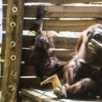 Az emberi beszédet utánozza Rocky, az orangután