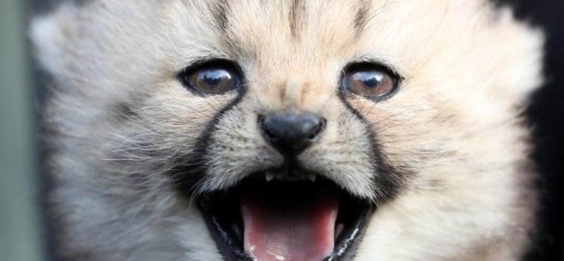 Fotók: Tündéri bolyhos kis gepárdok születtek Németországban